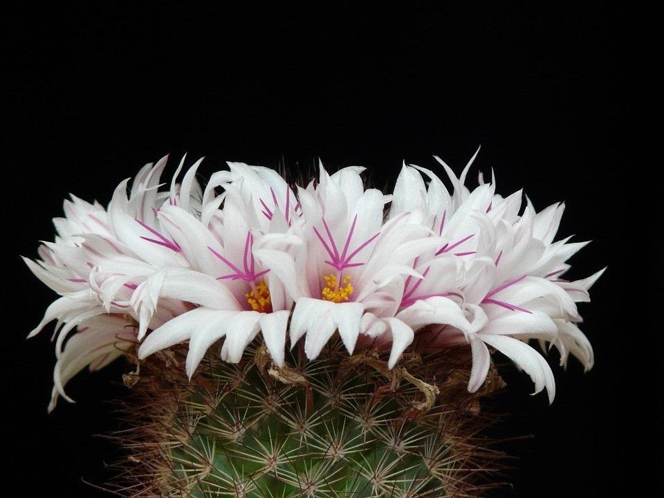 La Mammillaria