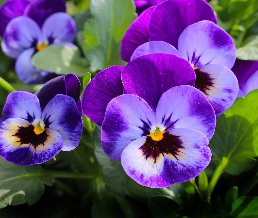 La Violette Des Bois
