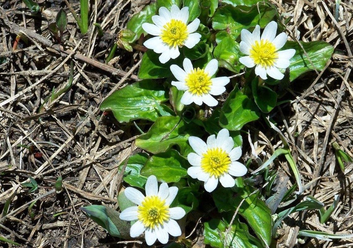 Le Caltha Palustris