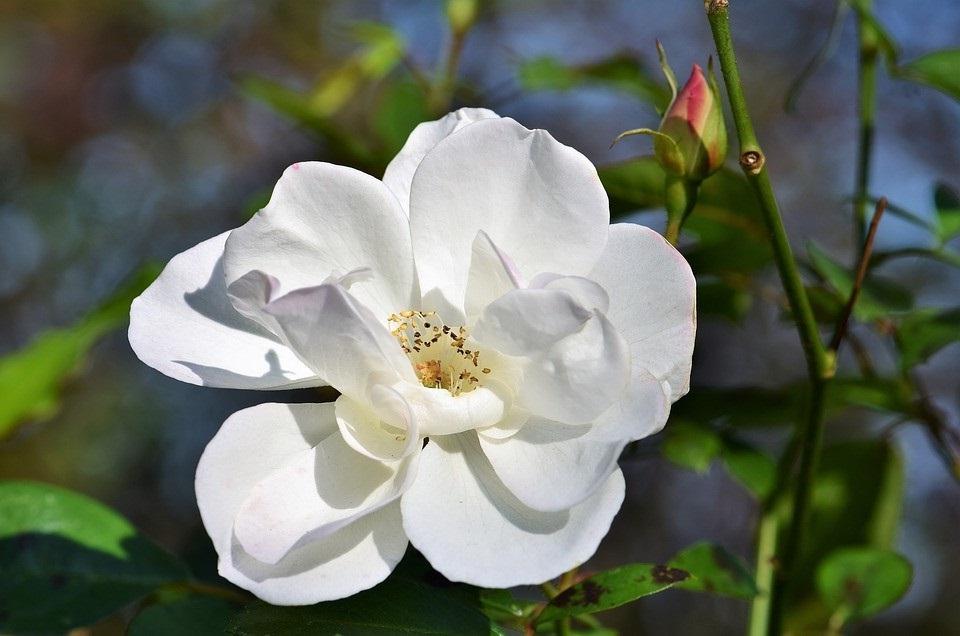 Rosier Blanc