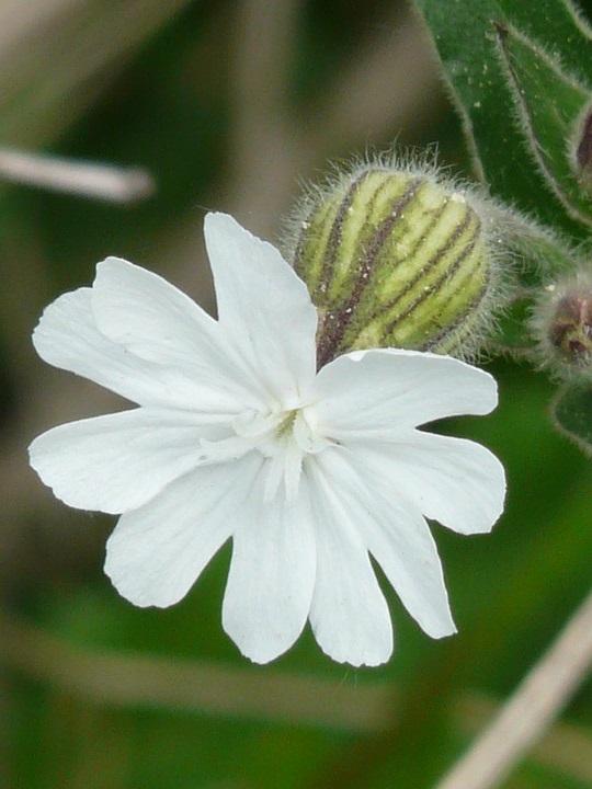 Silene Alpestris 'flore Pleno'