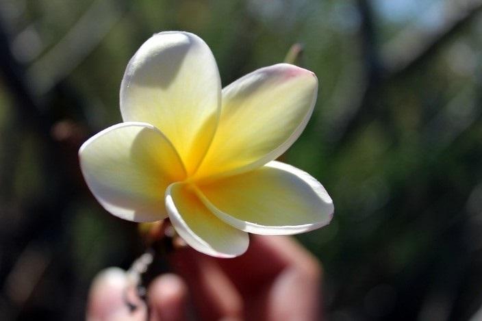 Tiaré De Polynésie