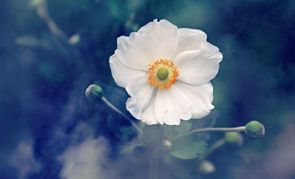 Anemone Pixabay Mabelamber