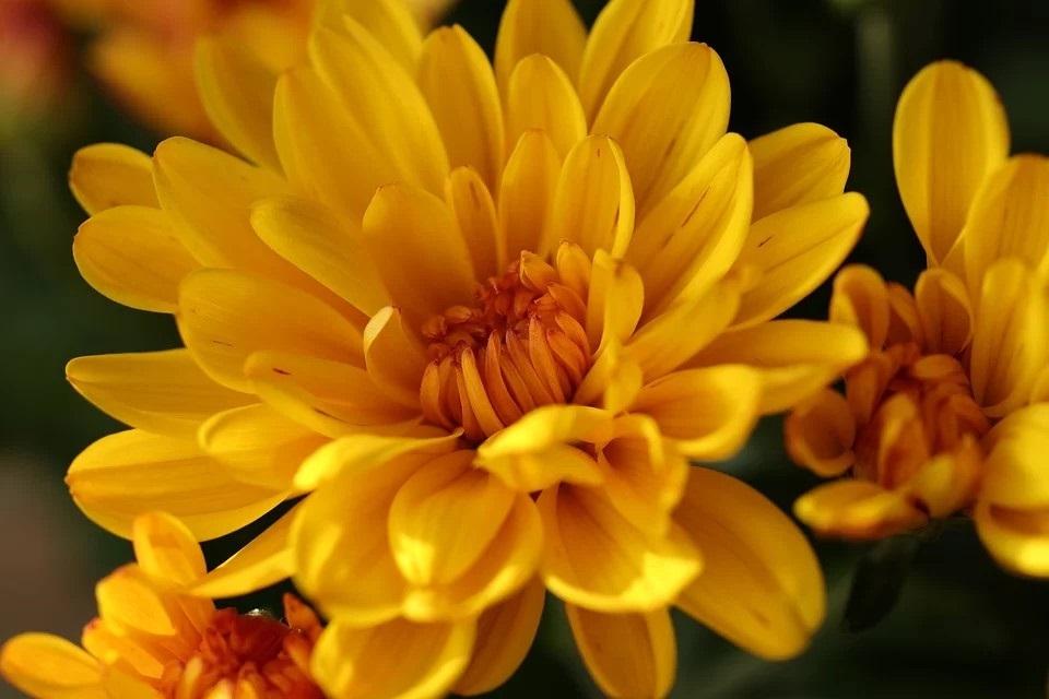 Chrysantheme – Pixabay Marjonbesteman
