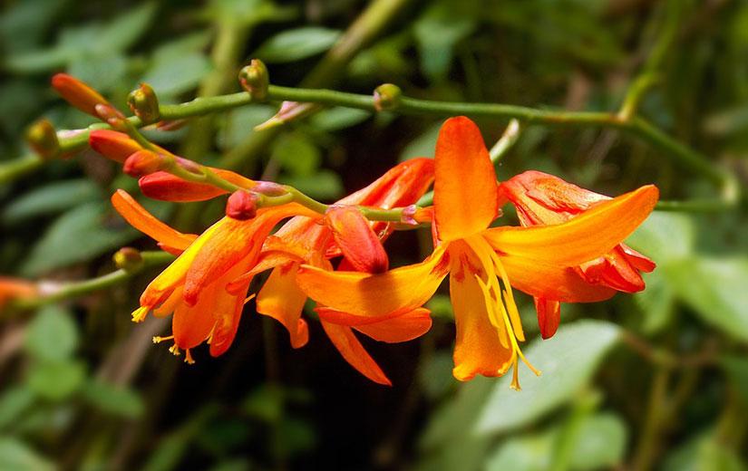 Crocosmia Fleurs Ete
