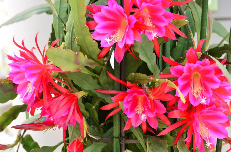 Epiphyllum Gerbeaud