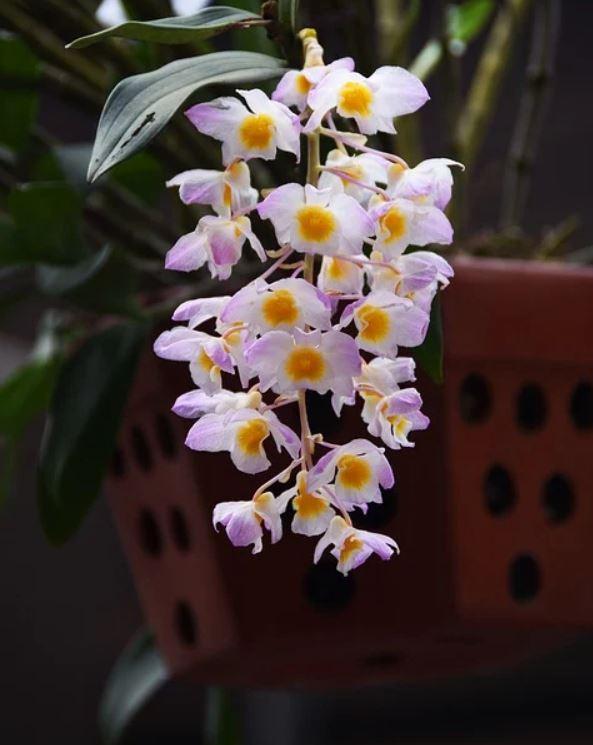 Orchidée Dendobrium