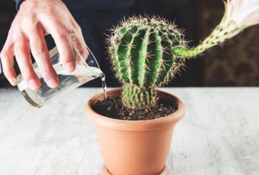Arroser Un Cactus