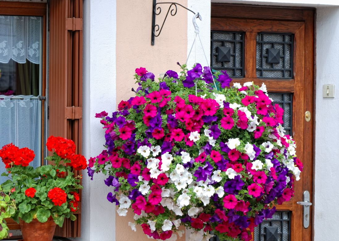 Bouquet De Pétunias Devant Une Maison