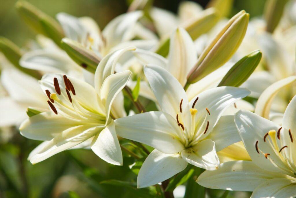 Fleur De Lys Blanc