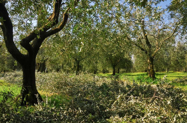Plantation D'oliviers Après Taillage