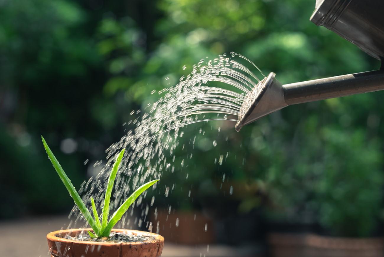 Arroser Votre Plante Grasse
