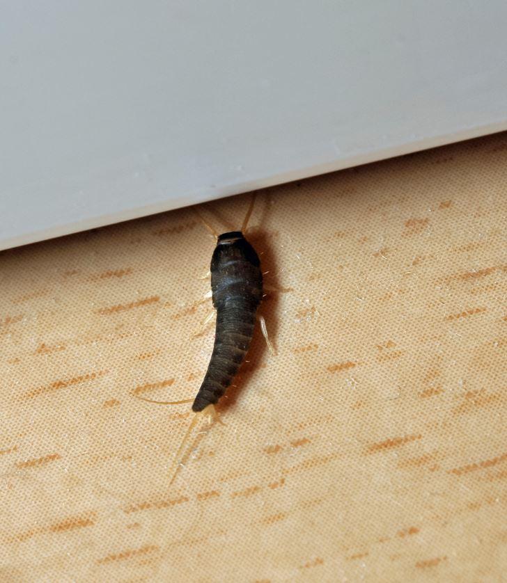 Poisson D'argent Insecte Domestique