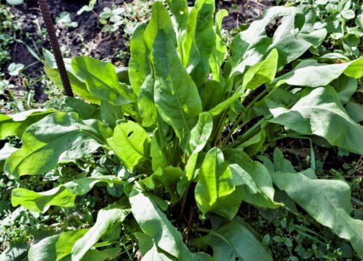Rumex Plante Vivace