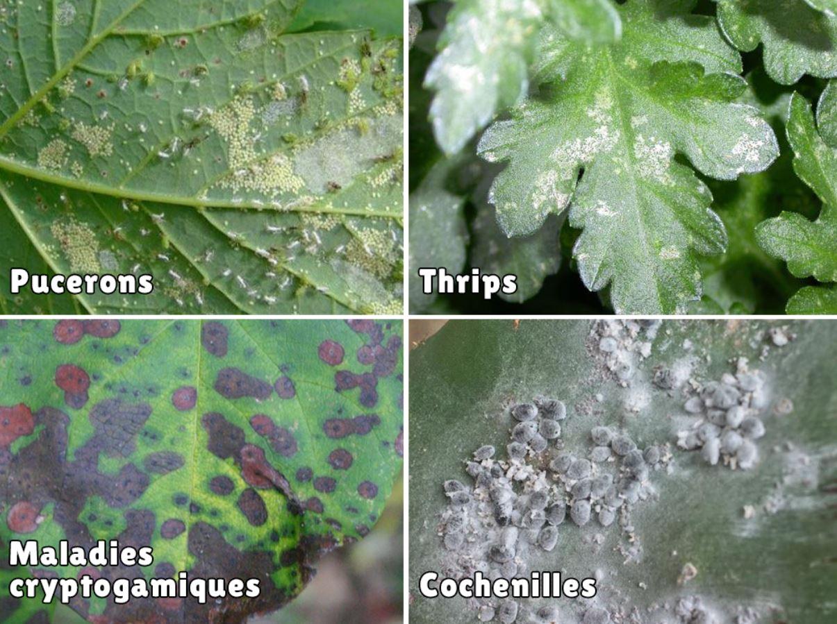 4 Maladies Plante Verte