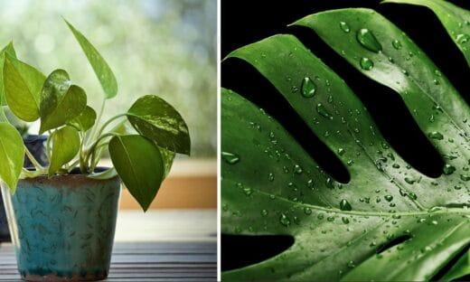 Plantes Grimpantes Intérieur