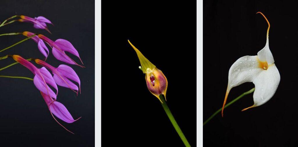 3 Variétés De Masdevallia
