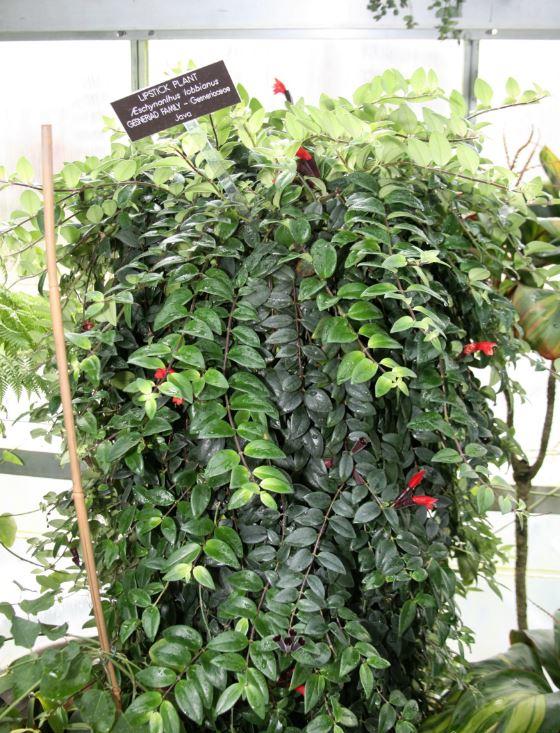 Aeschynanthus Lobbianus Espèce Type