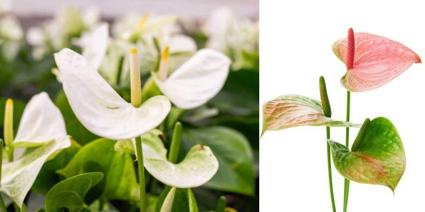 Anthurium Roses Verts Et Blancs