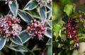 Arbuste Ornement