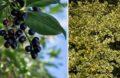 Arbustes Haie Croissance Rapide