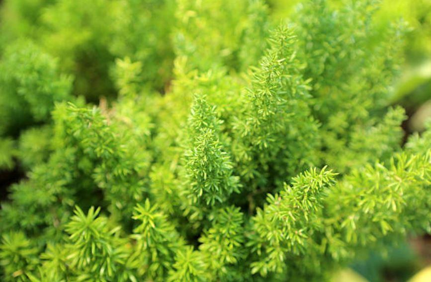 Asparagus Densiflorus Gros Plan