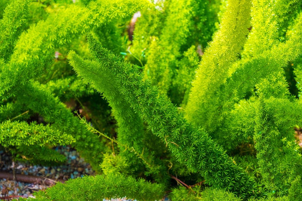 Asparagus Densiflorus Meyeri