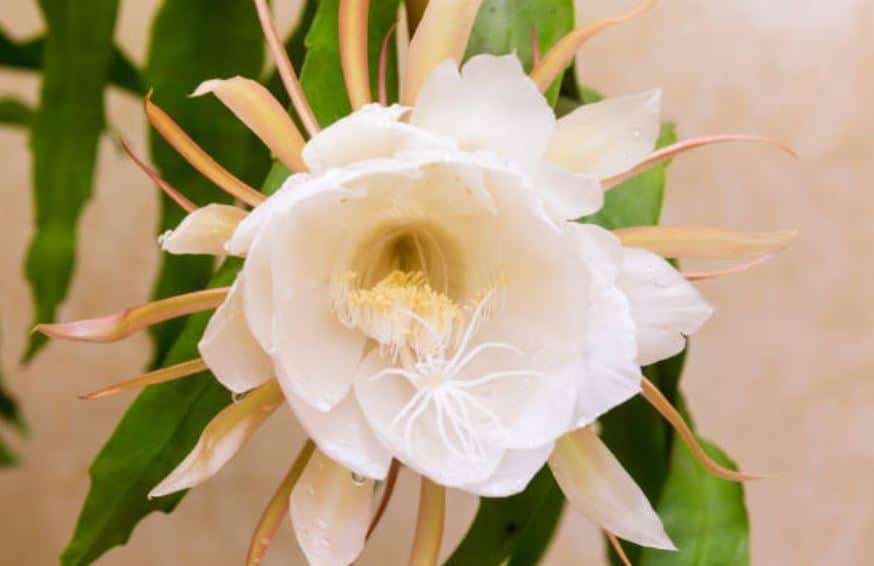 Cactus Epiphyllum Fleurs Blanches