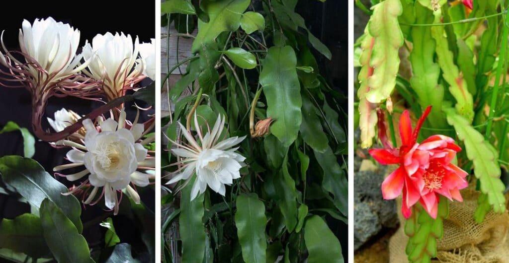 Cactus Orchidée En Fleur Ou Epiphyllum Oxypetalum