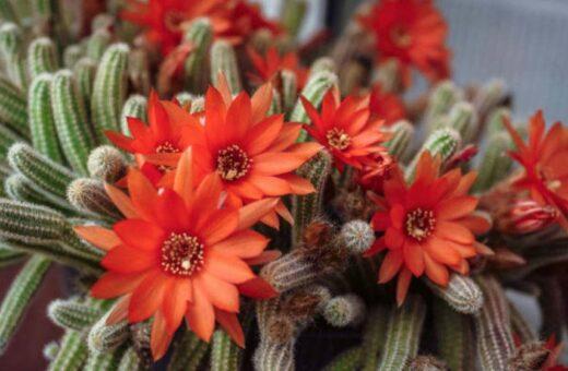 Chamaecereus Silvestrii Cactus En Fleurs Rouges