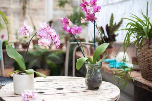 orchidees sous serre chaude