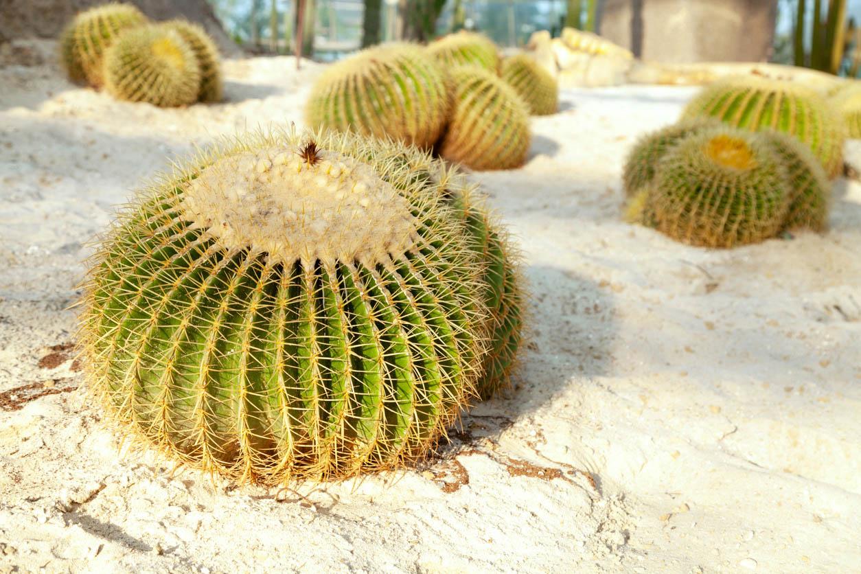 Echinocactus Grusonii sur sable