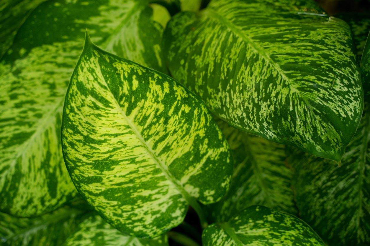 Belles feuilles vertes de Dieffenbachia Amoena