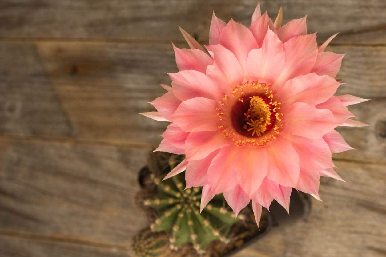 "Echinopsis Hybryde en floraison ""Spring Blush"""