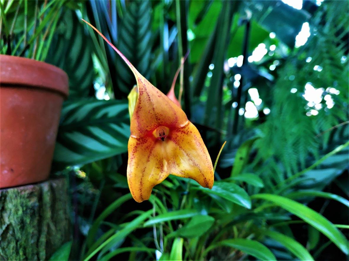 Fleur orange de Masdevallia kimballiana hybride
