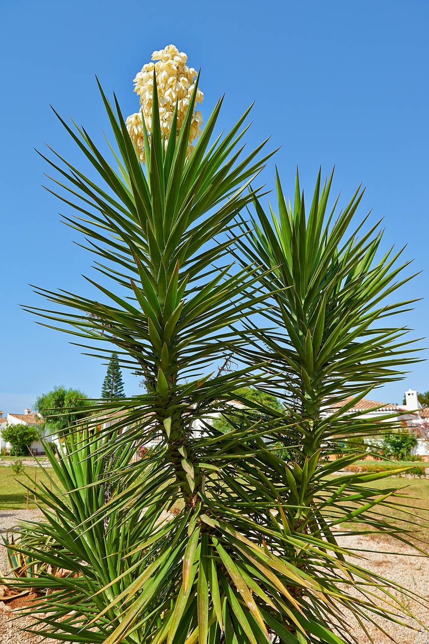 Détail sur les branches de yucca géant et sa fleur