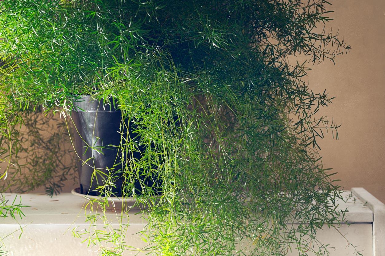 Plante de fougère d'asperges asparagus