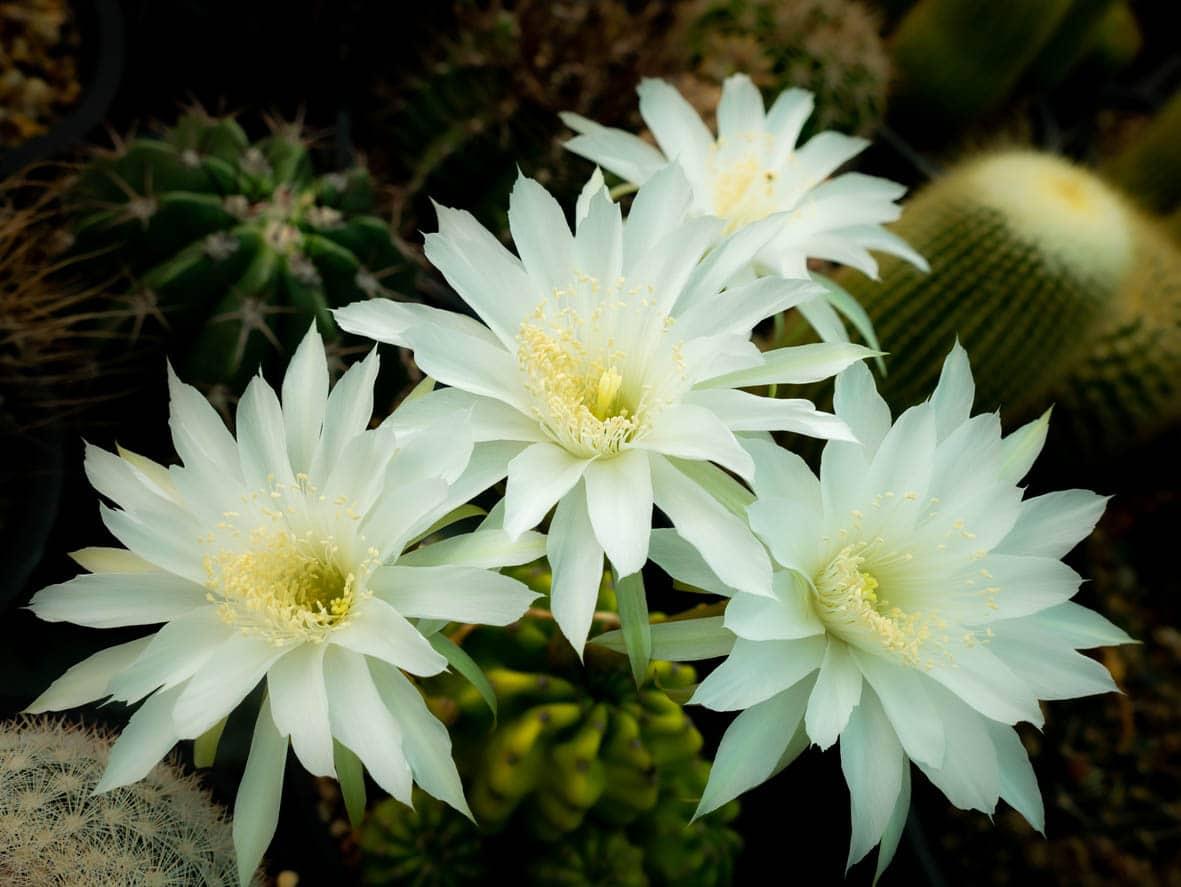 Fleurs blanches de cactus Echinopsis