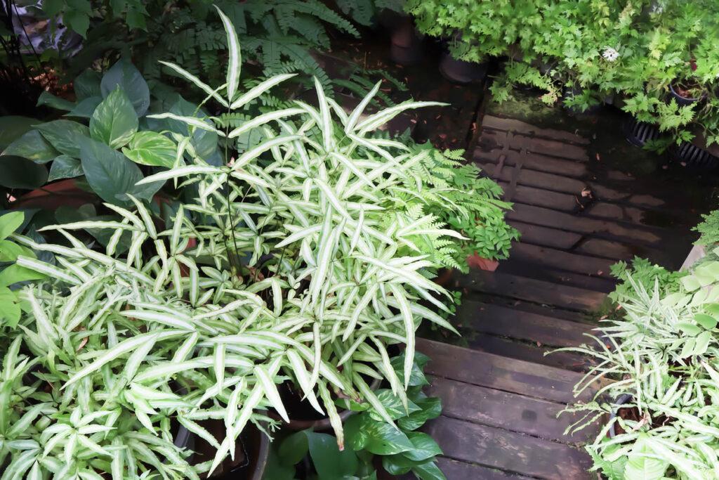 Pteris cretica ou fougères tropicales