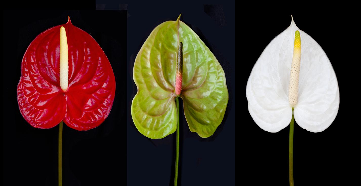 Anthurium andraeanum rouge vert et blanc