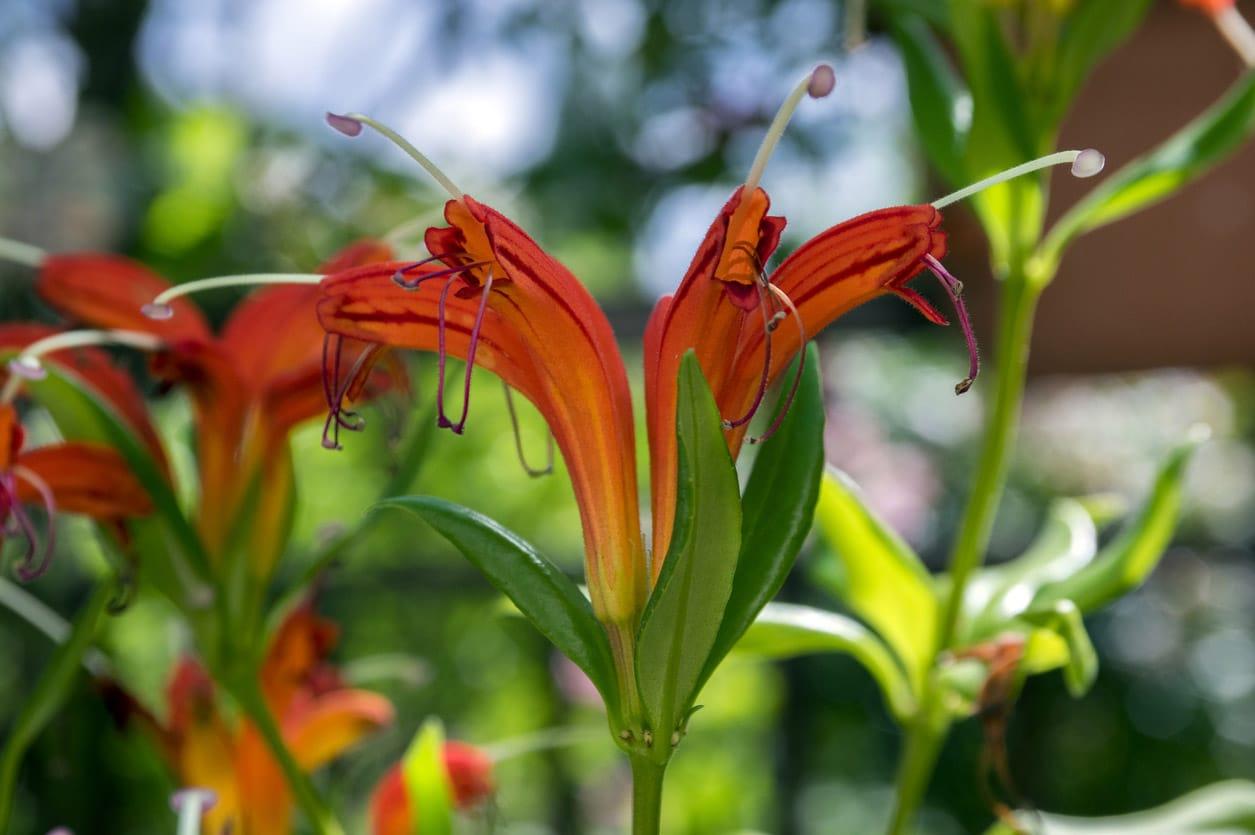 Aeschynanthus speciosus en fleur, jolies fleurs rouges oranges, plante ornementale