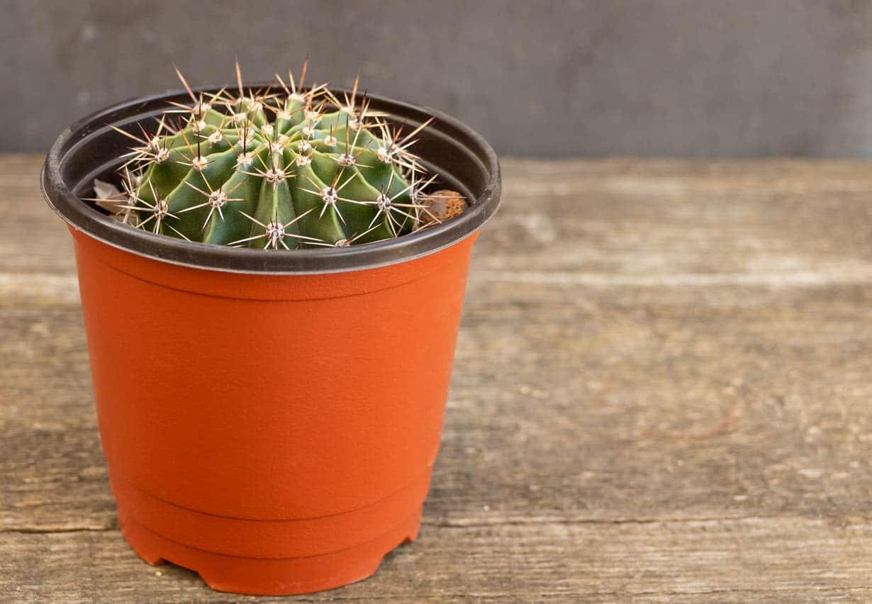 Echinopsis dans un pot rouge