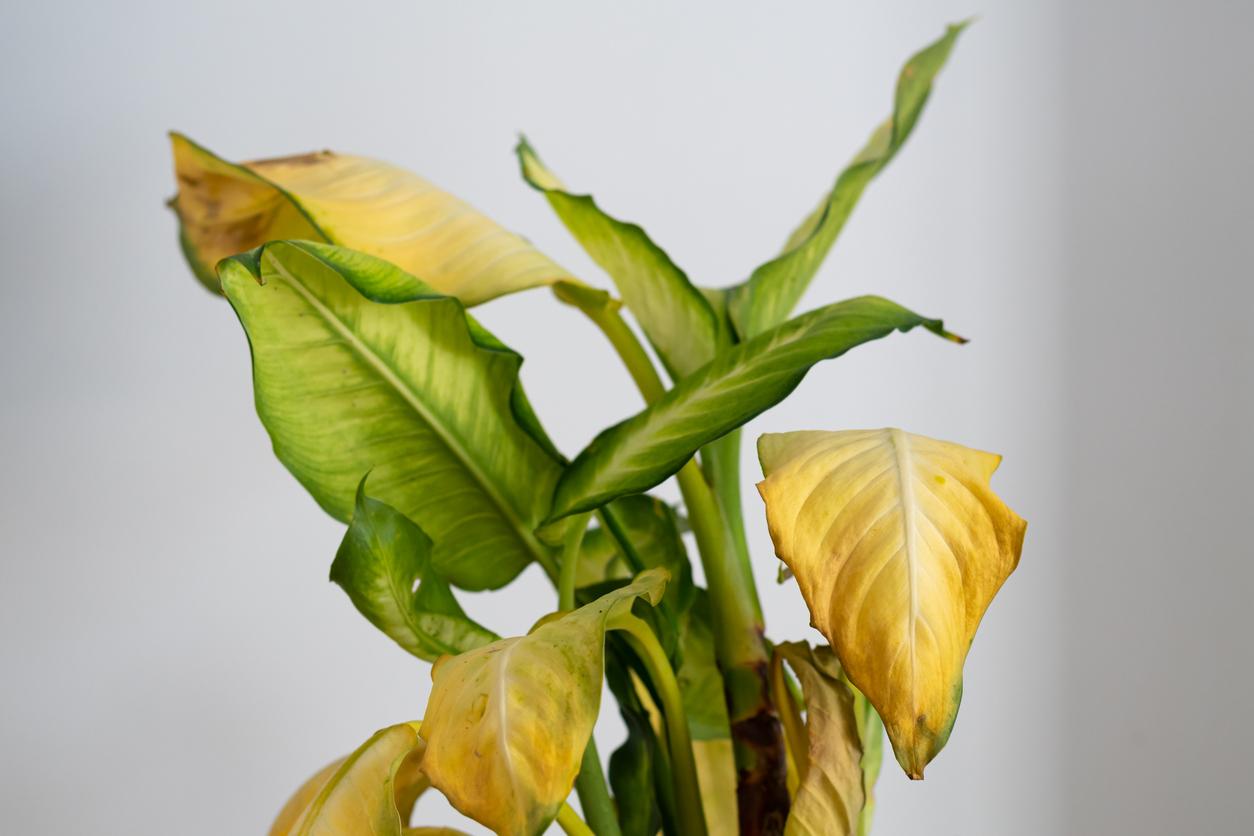 Dieffenbachia Camilla avec des feuilles jaunes et des taches brunes