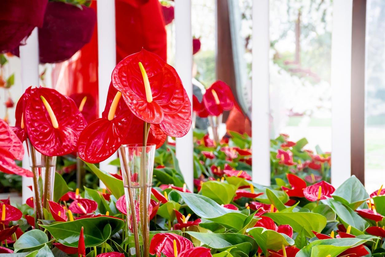 Anthurium andraeanum rouge