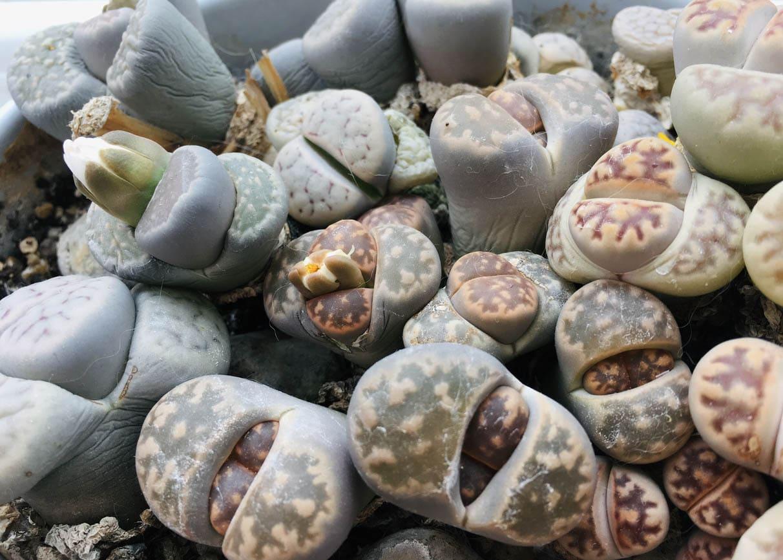 Plantes vivace en forme de pierre connues sous le nom de lithops ou plante caillou