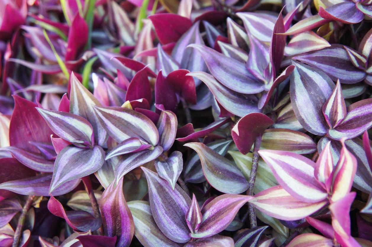 Misere Tradescantia zebrina ou spiderwort au feuilles violettes vertes et rayées