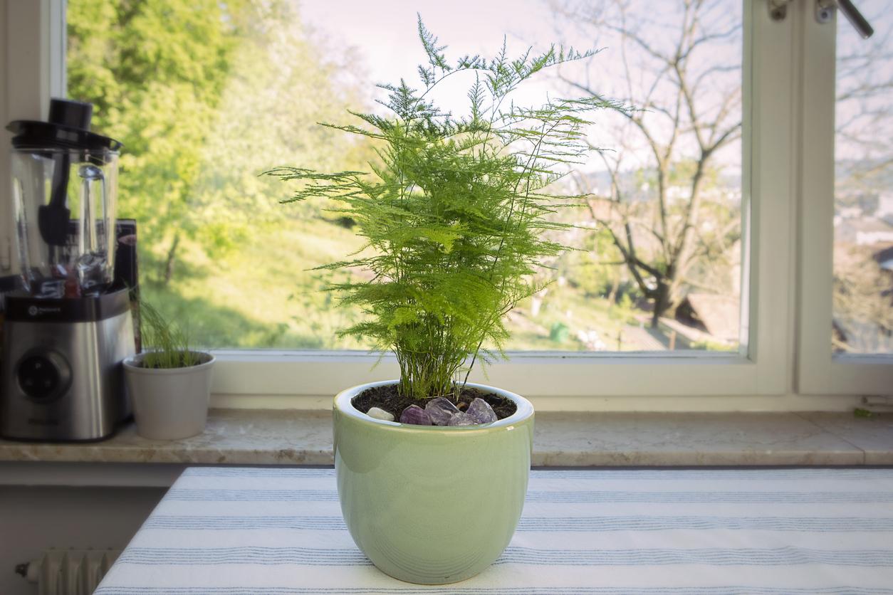 Aspargus Setaceus plantes d'intérieur vertes dans un pot