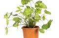 Podophyllum Syngonium en pot
