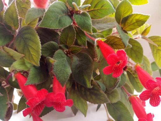 Fleurs tropicales Kohleria en fleur