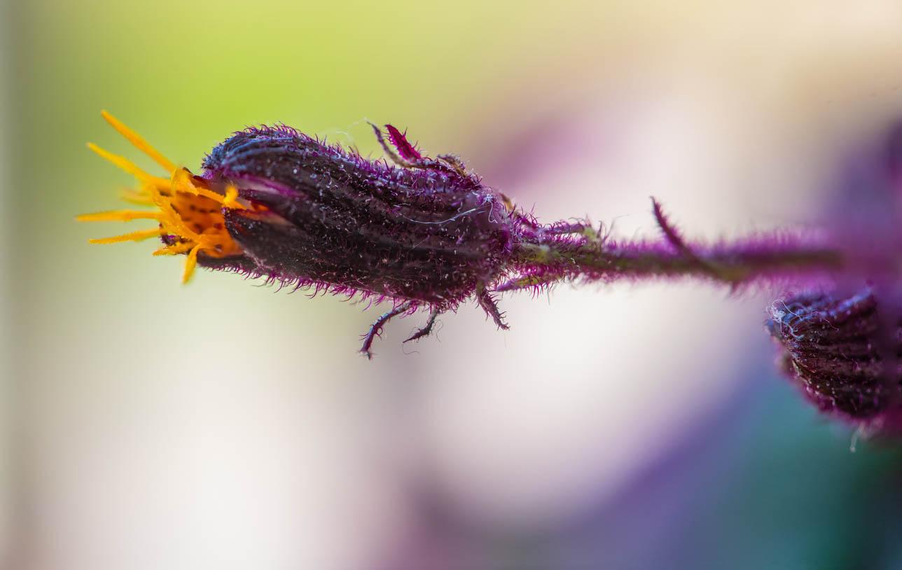 Gros plan d'une fleur d'un Gynura aurantiaca